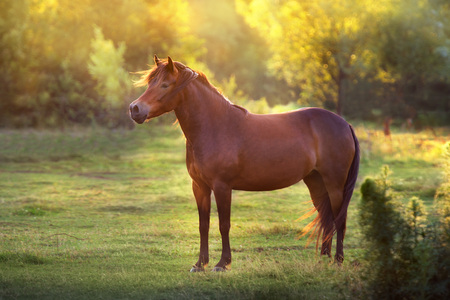 Bay mare standing at sunset field 版權商用圖片
