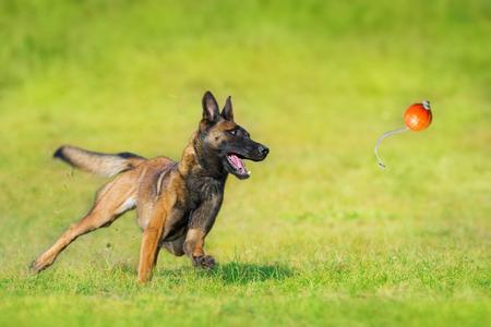 Malinois-Schäferhund läuft und spielt Ballspielzeug auf dem Sommerfeld Standard-Bild