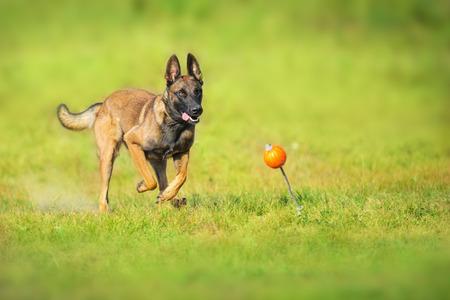 Malinois sheepdog run and play ball toy at summer field Stock Photo - 117969317