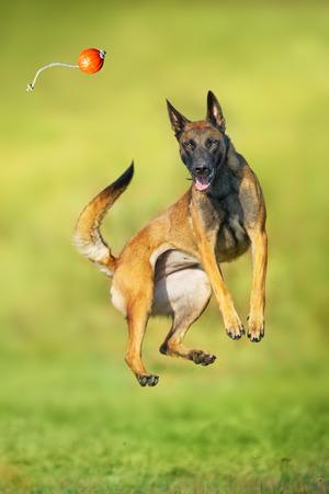 Malinois sheepdog run and play ball toy at summer field Stock Photo - 117969316