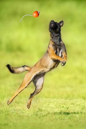 Malinois sheepdog run and play ball toy at summer field Imagens