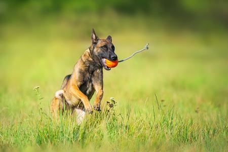 Malinois sheepdog run and play ball toy at summer field Stock Photo - 117969320