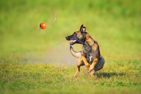 Malinois sheepdog run and play ball toy at summer field Stock Photo