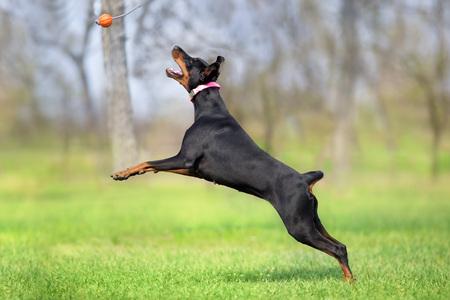 Black doberman play in spring field in park Imagens