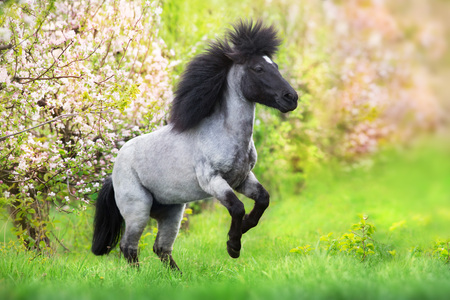 Pony rearing up in spring pink blossom trees