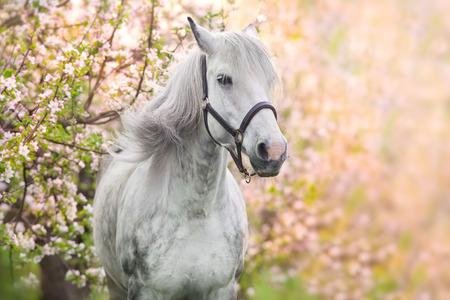 Weißes Pferdeporträt im Frühjahr rosa Blütenbaum Standard-Bild