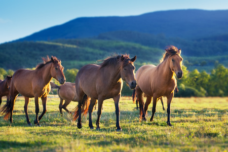 Horses in herd on spring green meadow against the mountain view Imagens