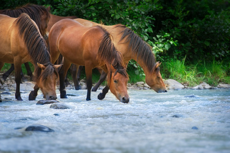 Horses drink in river Standard-Bild - 122768031