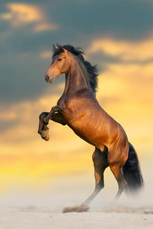 Bay stallion with long mane rearing up Reklamní fotografie - 122768033