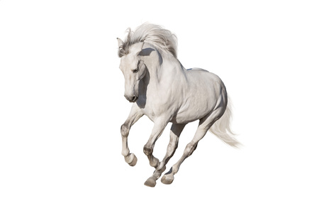 White horse isolated on white background Imagens