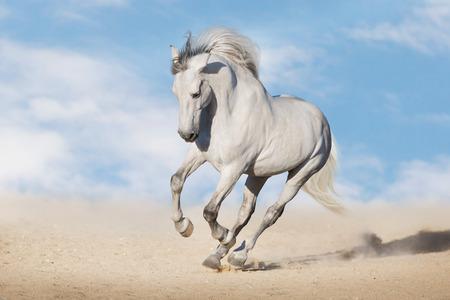 Galope de caballo blanco en el polvo del desierto contra el hermoso cielo Foto de archivo