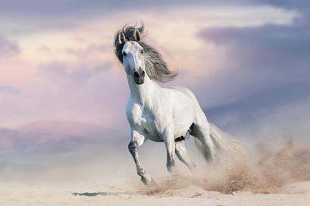 Galope de caballo blanco en el polvo del desierto contra el hermoso cielo