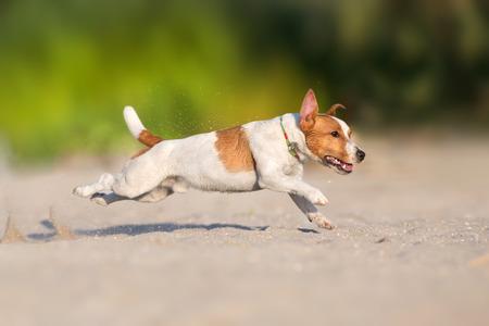 Jack russell terrier dog running on a beach of sea Standard-Bild - 122768168