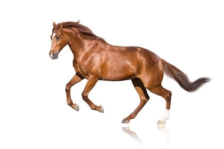 Red stallion isolated on white background 版權商用圖片