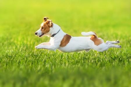 Jack russel terrier run on green spring field Standard-Bild - 122768173