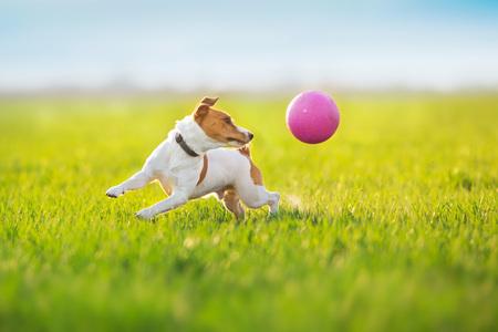 Jack russel terrier run on green spring field Standard-Bild - 122768176