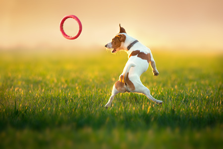 Jack russel terrier run on green spring field Standard-Bild - 122768541