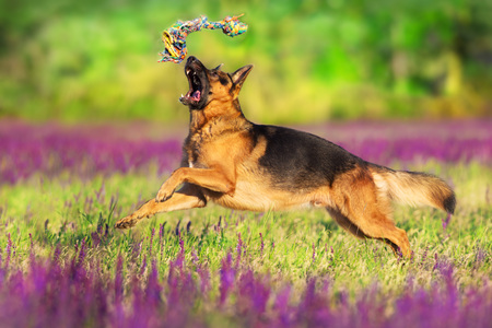 German shephard dog running in flowers meadow