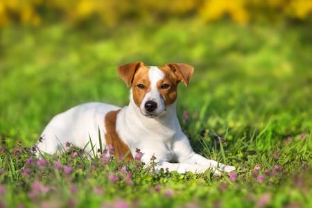 Jack russel terrier lay on spring field