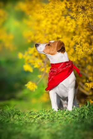 Jack russel terrier close up portrait on spring yellow flowers Standard-Bild - 122769066