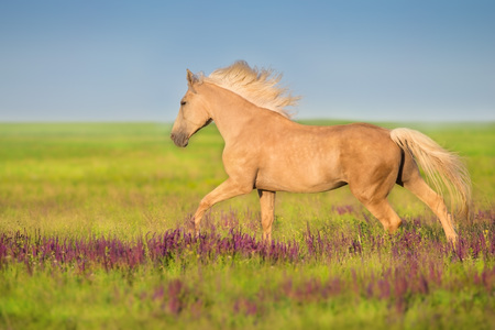 Cremello horse with long mane free run in flowers meadow Banco de Imagens