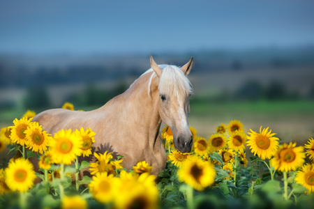 Palomino horse portrait in sunflowers at sunset Stockfoto