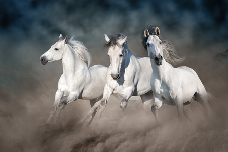 Three white horse run gallop on desert dust against dark sky