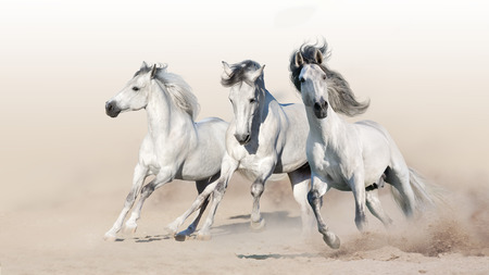 Three white horse run gallop on desert dust