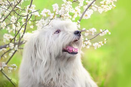 South russian sheepdog in spring blossom Banco de Imagens