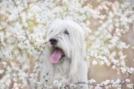 South russian sheepdog in spring blossom Reklamní fotografie