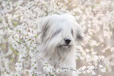 South russian sheepdog in spring blossom Stock Photo