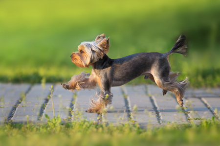 Yorkshire Terrier run fast on green spring park road