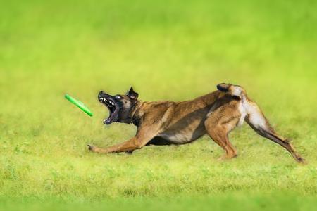 Malinois sheepdog run and play ball toy at summer field Reklamní fotografie