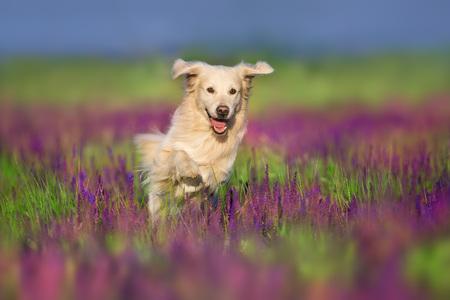 Golden retriever play fun in violet salvia flowers Reklamní fotografie