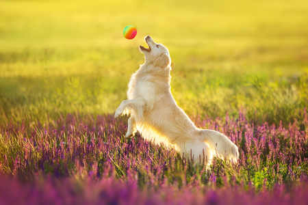 Golden retriever play with ball  in violet salvia flowers 写真素材