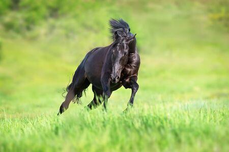Black stallion run gallop on green field