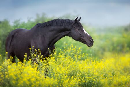 Black stallion on yellow flowers portrait