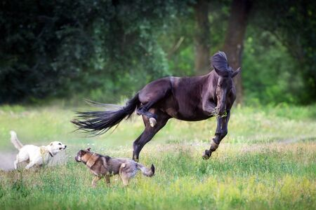 Black horse run and play with dogs