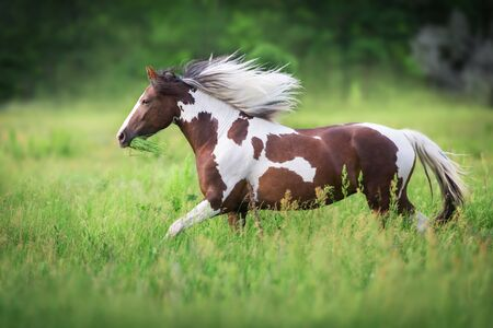 Pinto horse with long mane run gallop close up on green meadow