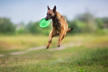Perro pastor Malinois correr y jugar a la pelota de juguete en el campo de verano