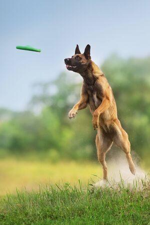 Chien de berger malinois courir et jouer au jouet de balle au champ d'été