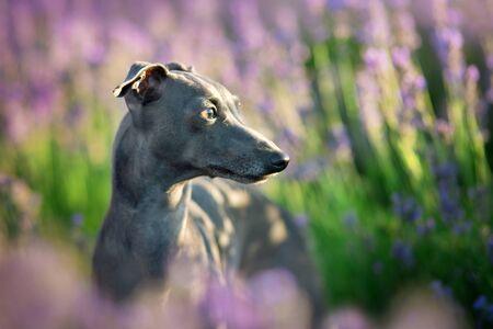 Italian greyhound close up portrait in lavander flowers