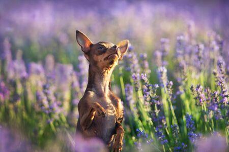 Toy terrier close up portrait in violet lavander flowers Reklamní fotografie