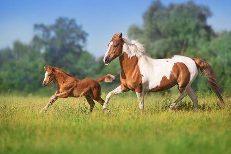 Jument rouge et poulain courent sur le pré vert de printemps Banque d'images
