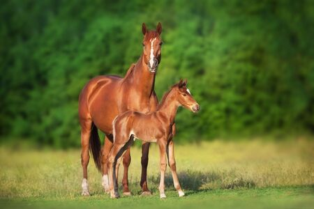 Red mare and foal run on spring green  meadow