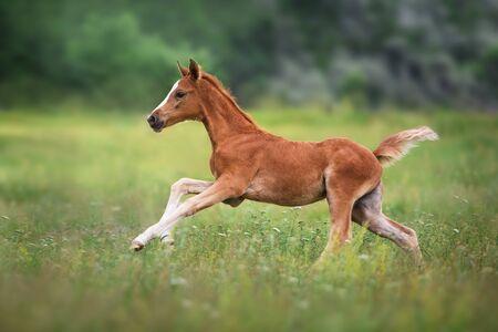 Beautiful red foal run and fun on spring green field Imagens