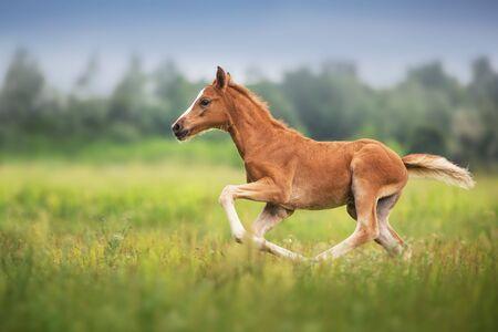Beautiful red foal run and fun on spring green field Reklamní fotografie