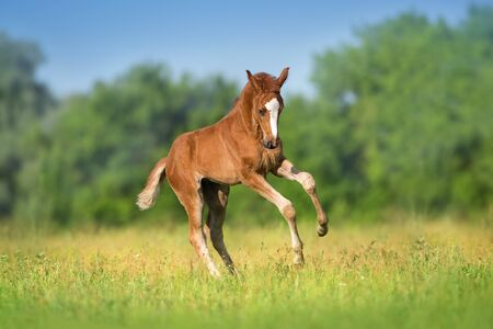 Beautiful red foal run and fun on spring green field Imagens