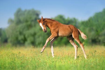 Belle course de poulain rouge et amusement sur le champ vert de printemps