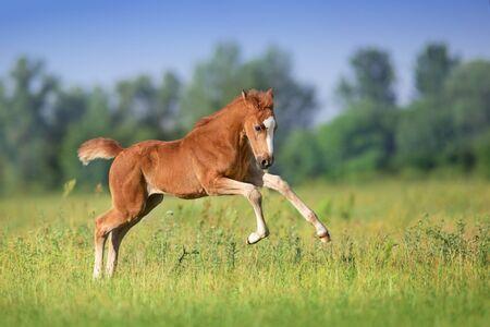 Belle course de poulain rouge et amusement sur le champ vert de printemps Banque d'images